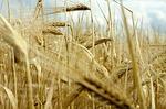 Eigenschaften und Wirkstoffe von Gerste – Korn