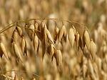 Eigenschaften und Inhaltsstoffe von Hafer – Korn