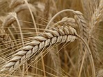 Eigenschaften und Inhaltsstoffe von Roggen – Korn